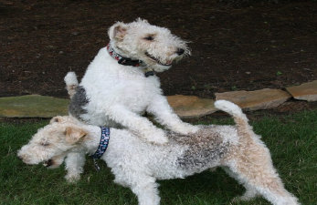 Wire Fox Terrier Rescue Midwest