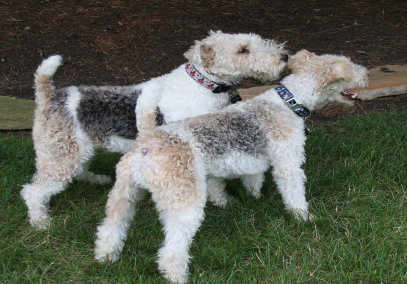 Wire Fox Terrier Rescue Midwest Off the Wire